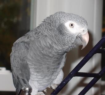 Buy Timneh Grey parrots
