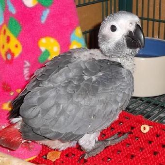 Buy Congo Grey parrots