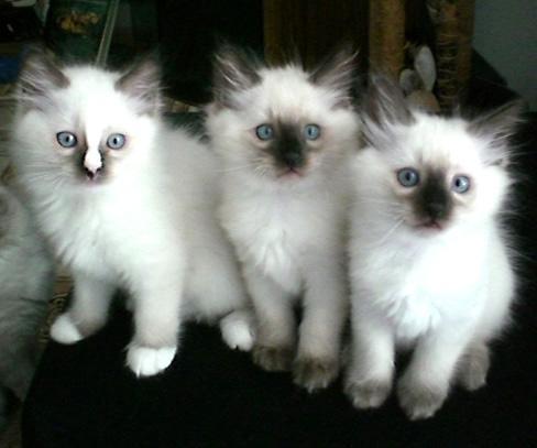 Ragdoll cats for sale san francisco