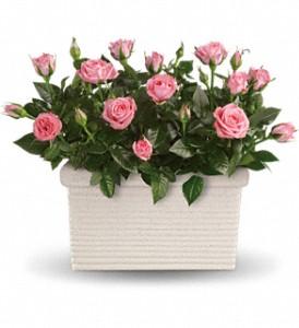 Buy Rose Repose