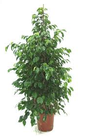 Buy Ficus Benjamina