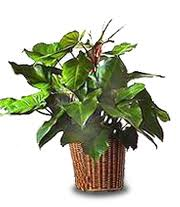 Buy Red Duchess Philodendron
