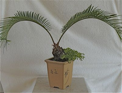 Buy I3068 Sago palm (cycas revoluta)