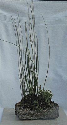 Buy 4443 Horsetail bamboo (equisetum tachyodon)