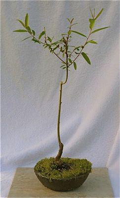 Buy 3809 Globe willow (salix matsudana 'umbraculifera')