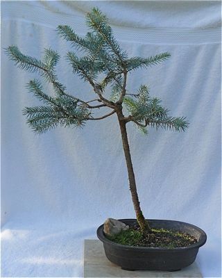 Buy 4143 Blue spruce (picea pungens)