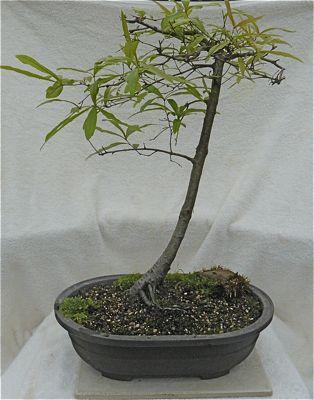 Buy 3211 Willow oak (quercus phellos)