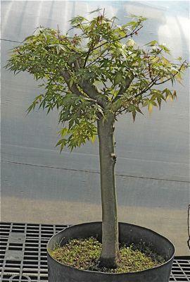 Buy PR44 Japanese maple (acer palmatum)