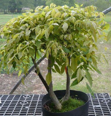 Buy PR17D Japanese wisteria (Twin trunk) (wisteria floribunda)