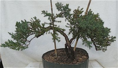 Buy PR33D Chinese juniper 'green mound' (procumbens nana)