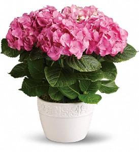 Buy Happy Hydrangea - Pink