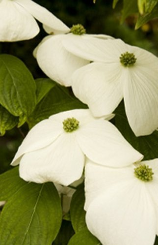 Buy Dogwood Tree, Aurora