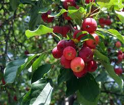 Buy Fruit Trees & Bushes
