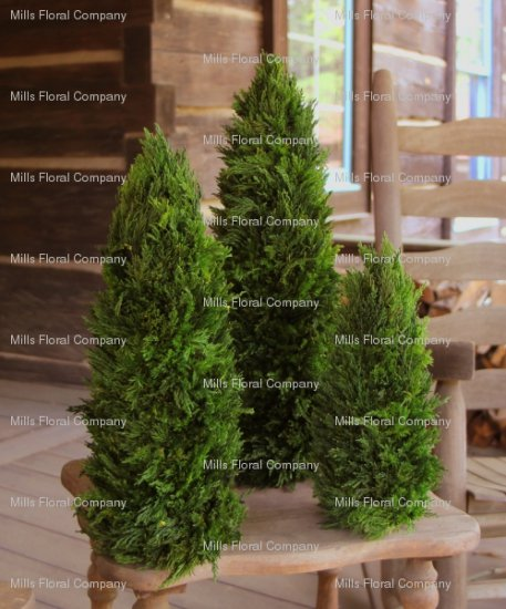 Buy Preserved Tuscan Cypress Cone Topiaries (no pot) 3-Pcs