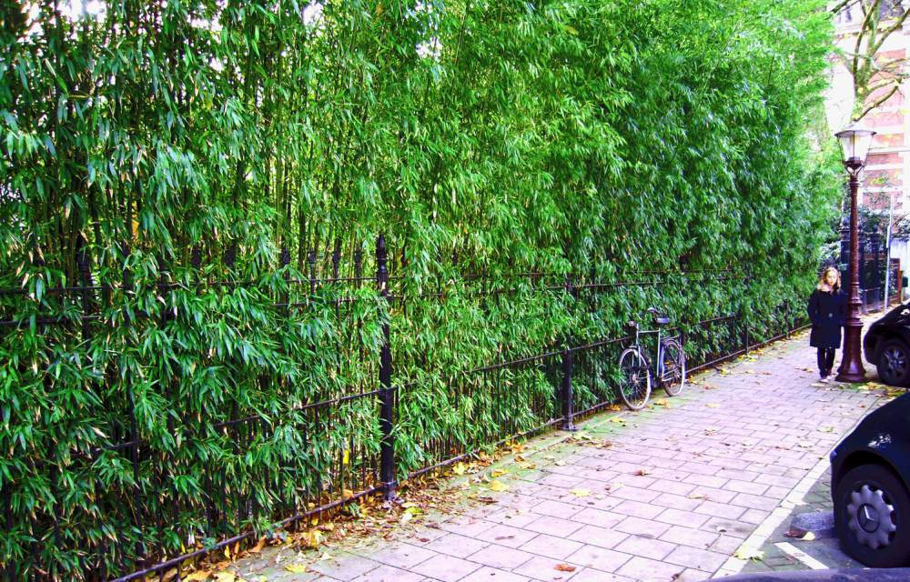 Garden Design With Phyllostachys Bissetii Bamboo U Buy Phyllostachys  Bissetii Bamboo With Landscape Plan From Morrowoh