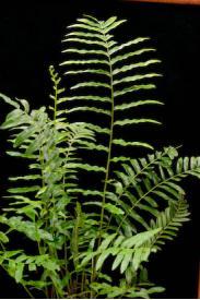 Buy Swamp Fern-Blechnum serrulatum