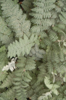 Buy Wooly Lip Fern