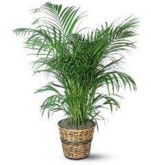 Areca Palm Plant TF136-3