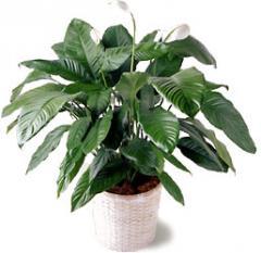 Spathiphyllum Plant C38-2965