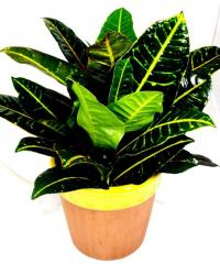 Colorful Croton Plant