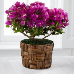 The FTD® Flowering Fuchsia Bougainvillea Plant by