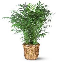 Parlor Palm Plant TF136-2