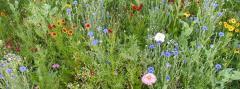 Arrow Prairie Wildflower Mixture