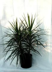 Marginata Plant #GP-DM