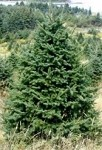 Fresh Cut Full Size Maine Christmas Tree