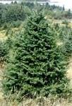 Fresh Cut Full Size Maine Christmas Tree