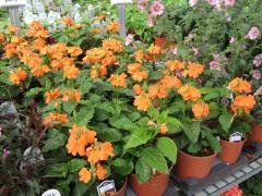 Crossandra Plants