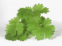 Cilantro Herb