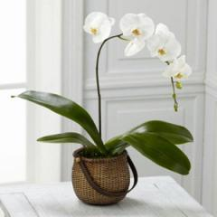 The FTD® White Phalaenopsis Orchid C29-4882