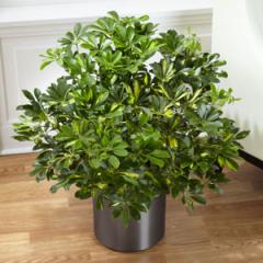The FTD® Schefflera Arboricola Plant C28-4890