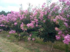 Medium-lavender flowers