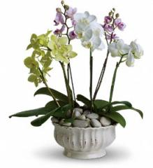 Regal Orchids Plant T103-1A
