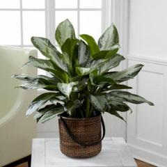 The FTD® Chinese Evergreen Plant C28-4892