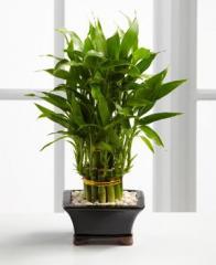 Double Lucky Pyramid Bamboo Plant WGP120