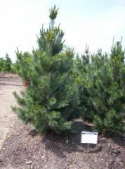 Pinus Flexilis Vanderwolf Pine Tree
