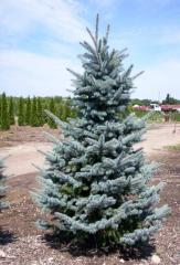 Picea Pungens Baby Blue Eyes Spruce Tree