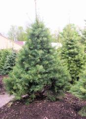 Abies Concolor Fir Tree