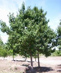 Acer Campestre Hedge Maple Tree