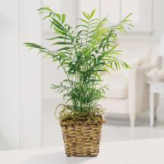 Paradise Palm Plant