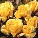 Fortuniana Rose