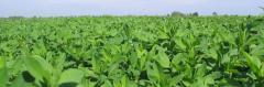 Alfalfa - the BEST technology!