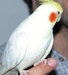 Tame Cockatiel For Adoption