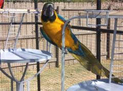 Cute pair of Hyacinth Macaws for Re-Homing