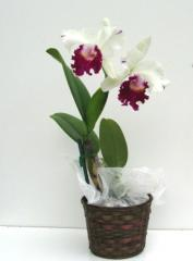 Semi Alba Cattleya Orchid