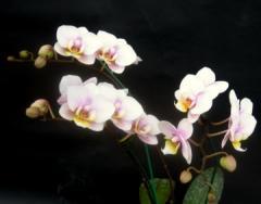 Dtps. I-Hsin Amy Phalaenopsis