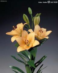 Lilies Flowers